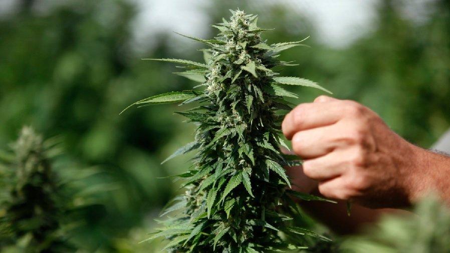 planta cannabis Cannabis sativa, patrimônio vegetal da humanidade?