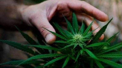 mao cultivo flor 400x225 Juventude Socialista fará nova proposta de legalização da maconha em Portugal