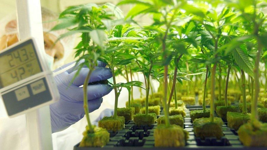 mudas cultivo Anvisa arquiva proposta que regulamenta o cultivo de maconha medicinal no Brasil