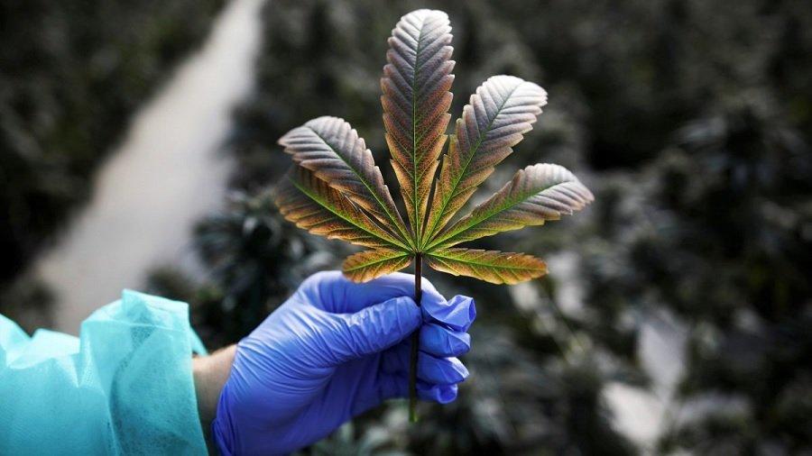 folha mao luva israel Quando a luta pela legalização da maconha medicinal chegou à Malásia