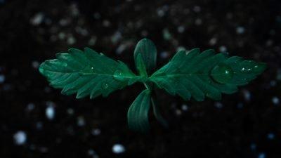 muda verde gotas 400x225 Câmara dos Representantes dos EUA aprova a descriminalização da maconha